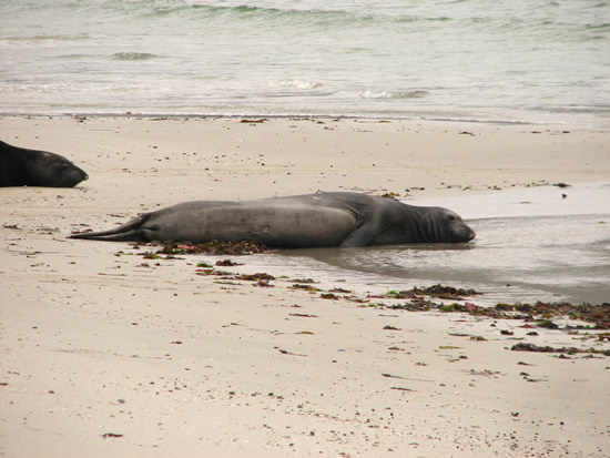 elephant seals on San Miguel Island
