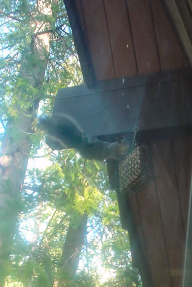 Squirrel after bird seed
